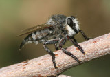 Promachus giganteus; Robber Fly species