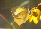 Eurema mexicana; Mexican Yellow