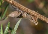 Stagmomantis limbata; Mantid species; female
