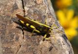 Schistocerca albolineata; White-lined Bird Grasshopper; male