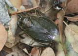 Abedus Giant Water Bug species