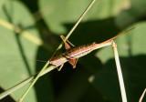 Conocephalus strictus; Straight-lanced Meadow Katydid; female