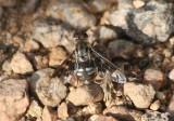 Thyridanthrax fenestratoides; Bee Fly species