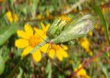 Oecanthus californicus; Western Tree Cricket; pale variant; male