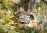 Chlorochroa ligata; Conchuela Bug