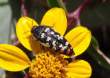 Acmaeodera paradisjuncta; Metallic Wood-boring Beetle species