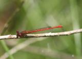 Telebasis salva; Desert Firetail; male