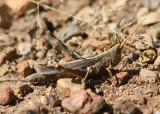 Acantherus piperatus; Slender Range Grasshopper; female
