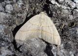 6891 - Lambdina laeta; Geometrid Moth species
