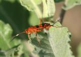 Compsocryptus Ichneumon Wasp species; female