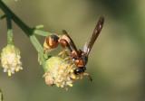 Eumenes bolli; Potter Wasp species