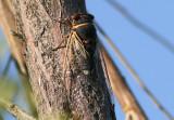 Diceroprocta apache; Citrus Cicada