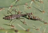 Stagmomantis californica; California Mantis; female