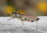 Schistocerca albolineata; White-lined Bird Grasshopper; female