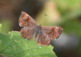 Calephelis arizonensis; Arizona Metalmark; female