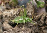 Dichopetala brevihastata; Common Short-winged Katydid; female