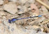 Argia extranea; Spine-tipped Dancer; male