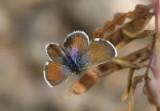 Brephidium exilis; Western Pygmy Blue