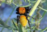 Phidippus apacheanus; Jumping Spider species