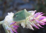 Thyanta custator; Red-shouldered Stink Bug