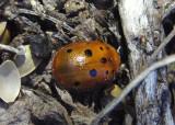 Chelymorpha phytophagica; Tortoise Beetle species