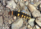 Chauliognathus Soldier Beetle larva