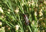 Sphaenothecus bivittata; Double-banded Bycid