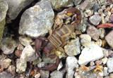 Pseudouroctonus apacheanus; Scorpion species