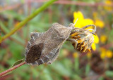 Piezogaster spurcus; Leaf-footed Bug species