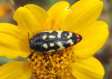 Acmaeodera disjuncta; Metallic Wood-boring Beetle species