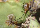 Chelinidea vittiger; Cactus Coreid nymphs