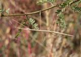 Parabacillus hesperus; Western Shorthorned Walkingstick