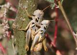 Barytettix humphreysii; Humphrey's Grasshoppers; mating pair