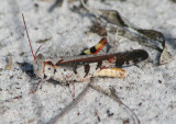 Spharagemon marmorata picta; Southern Marbled Grasshopper; male