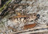 Pardalophora phoenicoptera; Orange-winged Grasshopper; male