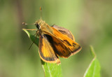 Polites vibex; Whirlabout; male