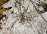 Arctosa Wolf Spider species