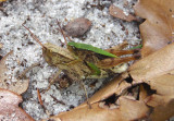 Dichromorpha viridis; Short-winged Green Grasshoppers; mating pair