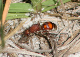 Dasymutilla quadriguttata; Velvet Ant species; female