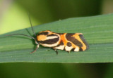 9126 - Spragueia onagrus; Black-dotted Spragueia Moth