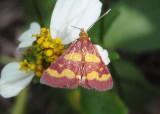 5069 - Pyrausta tyralis; Coffee-loving Pyrausta Moth