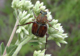 Trichiotinus rufobrunneus; Flower Chafer species