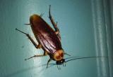 Periplaneta americana; American Cockroach; exotic