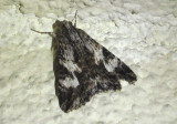 8607 - Melipotis jucunda; Merry Melipotis Moth