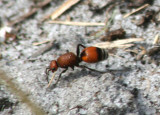 Dasymutilla bioculata; Velvet Ant species; female