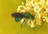 Agapostemon splendens; Sweat Bee species