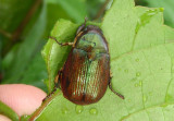 Anomala marginata; Shining Leaf Chafer species
