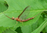 Hexagenia Common Burrower Mayfly species; male