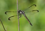 Libellula incesta; Slaty Skimmer; female