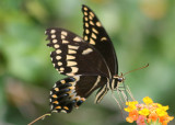 Papilio palamedes; Palamedes Swallowtail
